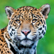 Jaguar - Pantheronca. jaguar is third-largest feline after tiger and lion, and largest in Western Hemisphere. — Stock Photo #17633297