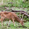 Chital or cheetal deers (Axis axis), also known as spotted deer or axis deer in the Bandhavgarh National Park in India. Bandhavgarh is located in Madhya Pradesh. — Stock Photo #17633431