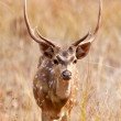 Chital or cheetal deers (Axis axis), also known as spotted deer or axis deer in the Bandhavgarh National Park in India. Bandhavgarh is located in Madhya Pradesh. — Stock Photo #17633439