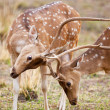 Chital or cheetal deers (Axis axis), also known as spotted deer or axis deer in the Bandhavgarh National Park in India. Bandhavgarh is located in Madhya Pradesh. — Stock Photo #17633457