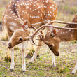 Chital or cheetal deers (Axis axis), also known as spotted deer or axis deer in the Bandhavgarh National Park in India. Bandhavgarh is located in Madhya Pradesh. — Stock Photo #17633465