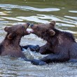 Young Brown Bears (Ursus arctos) fighting in the water — Stock Photo