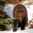 Brown Bear (Ursus arctos) in the Bayerischer Wald National Park, Bayern, Germany — Stock Photo