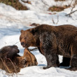 Brown Bears (Ursus arctos) in Bayerischer Wald National Park, Bayern, Germany — Stock Photo #17633771