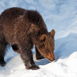 Young Brown Bear (Ursus arctos) in the Bayerischer Wald National Park, Bayern, Germany - Stock Photo