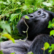 One of most endangered animals, great silverback Mountain Gorilla, in Bwindi National Park in Uganda. — Stock Photo #17633821