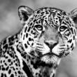 Jaguar - Pantheronca. jaguar is third-largest feline after tiger and lion, and largest in Western Hemisphere. — Stock Photo #17635337