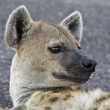 Spotted Hyena in Kruger National Park, South Africa — Stock Photo