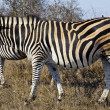 Zebras in Kruger National Park, South Africa — Foto Stock