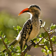 Southern yellowbilled hornbill in the Kruger National Park, South Africa — Stock Photo