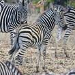 Zebras in Kruger National Park, South Africa — Stok Fotoğraf #17636425