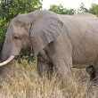 Africelephant in Kruger National Park, South Africa — Stock Photo #17636619