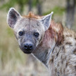 Spotted Hyena in Kruger National Park, South Africa — Stockfoto