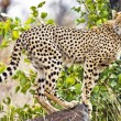 Foto Stock: Wild leopard lying in wait atop tree in Masai Mara, Kenya, Africa