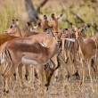 Female impala antelopes, Kruger National Park, South Africa — Stock Photo #17636757