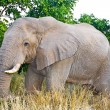 Africelephant (LoxodontAfricana) in Kruger National Park, South Africa — Stock Photo #17636801