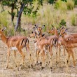 Female impala antelopes, Kruger National Park, South-Africa — Stock Photo #17636863