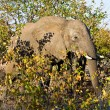 African elephant (Loxodonta Africana) in the Kruger National Park, South Africa. — Stock Photo