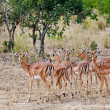 Female impala antelopes, Kruger National Park, South-Africa — Stock Photo #17637173