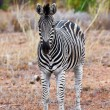 Zebra in Kruger National Park, South Africa — Foto de Stock