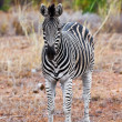 Zebra in Kruger National Park, South Africa — 图库照片