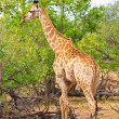 Giraffe (Giraffa camelopardalis) in Kruger National Park, South Africa — Stock Photo
