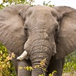 African elephant in Kruger National Park, South Africa — Stock Photo