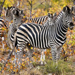 Stock Photo: Zebras and wildebeests in Maasai MarNational Park, Kenya