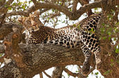 Wild leopard lying in wait atop a tree in Masai Mara, Kenya, Africa — Foto Stock