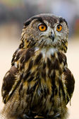 Bengal Eagle Owl with Large Orange Eyes — Stock Photo