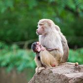 Baboon family — Stock Photo