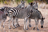 Zebra's in kruger national park, Zuid-Afrika — Stockfoto