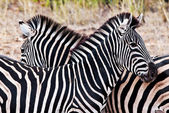 Zebras in Kruger National Park, South Africa — Stock Photo