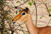 Female impala antelope, Kruger National Park, South Africa — Stock Photo