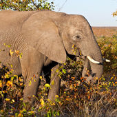 African elephant (Loxodonta Africana) in the Kruger National Park, South Africa. The African elephant is the largest living terrestrial animal. — Stock Photo