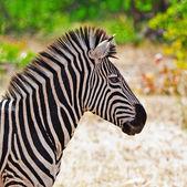 Cebra en el Parque Nacional kruger, Sudáfrica — Foto de Stock
