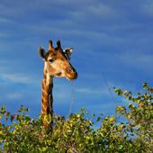 Giraffe (Giraffa camelopardalis) in Kruger National Park, South Africa — Stok fotoğraf