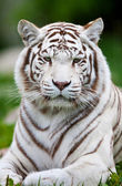 White Bengal Tiger — Foto Stock