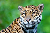 Jaguar - Panthera onca. — Foto Stock