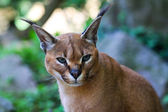 Caracal caracal, Deserted steppe lynx — Stock Photo
