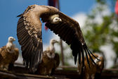Flying Griffon vulture — Stock Photo