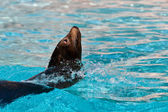 Beautiful young seal swimming in the pool — Stock Photo