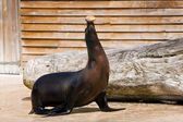 Sea ​​lion on the representation — Stock Photo