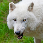 Snarling arctic wolf — Stock Photo