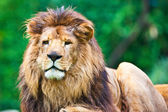 Male African Lion — Stock Photo