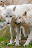 Large adult arctic wolves in the forest — Zdjęcie stockowe