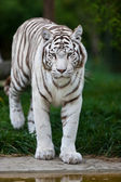 White Bengal Tiger. The white tiger is a recessive mutant of the Bengal tiger, which was reported in the wild from time to time in Assam, Bengal, Bihar and especially from the former State of Rewa. — Stock Photo