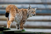 Beautiful wild lynx — 图库照片
