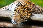 Jaguar - Panthera onca. The jaguar is the third-largest feline after the tiger and the lion, and the largest in the Western Hemisphere. — Stock Photo