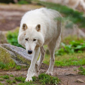 Large adult arctic wolf in the forest — Foto Stock
